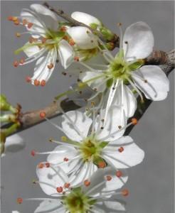 Трънка - Prunus spinosa L.-цвят