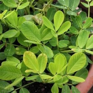 Фъстък - Arachis hypogaea L.-лист