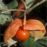 Мехунка - Physalis alkekengi L.-плод