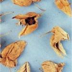 Мехунка - Physalis alkekengi L.-сухи плодове