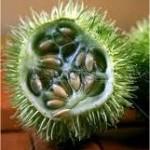 Дива краставица – Ecballium elaterium L.-семена