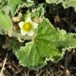 Дива краставица – Ecballium elaterium L.-цвят