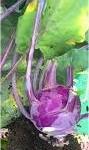 Лилав Алабаш - Brassica oleracea var. gongylodes