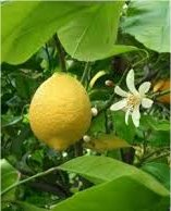 Бергамот - Citrus bergamia - в природата