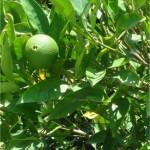 Random image: Бергамот - Citrus bergamia - лист