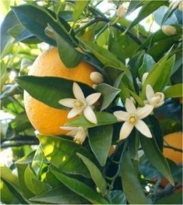 Бергамот - Citrus bergamia - полезно растение
