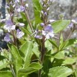 Лечебно великденче - Veronica officinalis L.-билка