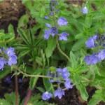 Random image: Лечебно великденче  - Veronica officinalis L. -стебло