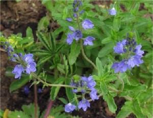 Лечебно великденче  - Veronica officinalis L. -стебло