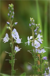 Лечебно великденче  - Veronica officinalis L.-цвят