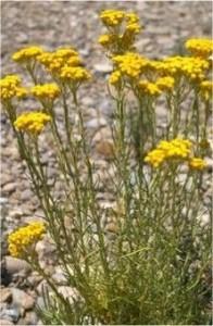 Жълт смил - Helichrysum arenarium L.-билка