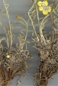 Жълт смил - Helichrysum arenarium L.-корен