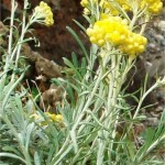 Жълт смил - Helichrysum arenarium L.-лечебно растение