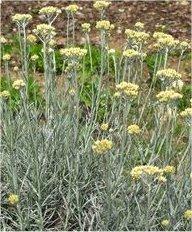 Жълт смил - Helichrysum arenarium L.-лист