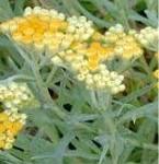 Жълт смил - Helichrysum arenarium L.-цвят