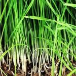 Random image: Лимонова трева - Cymbopogon citratus-билка