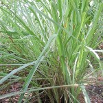 Random image: Лимонова трева - Cymbopogon citratus-в природата