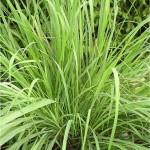 Лимонова трева - Cymbopogon citratus-листа