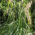 Random image: Лимонова трева - Cymbopogon citratus-цвят