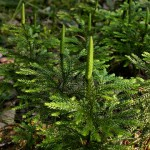 Бухалчест плаун - Lycopodium clavatum L.-билка