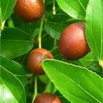 Хинап - Zizyphus vulgaris-плод