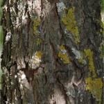 Random image: Хинап -  Zizyphus vulgaris-стебло