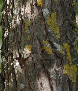 Хинап -  Zizyphus vulgaris-стебло