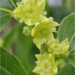 Random image: Хинап -  Zizyphus vulgaris-цвят