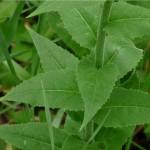 Вечерник обикновен - Hesperis matronalis L.-лист