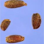 Random image: Вечерник обикновен - Hesperis matronalis L.-семена