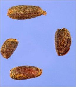 Вечерник обикновен - Hesperis matronalis L.-семена