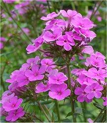 Вечерник обикновен - Hesperis matronalis L.-цвят
