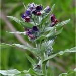 Наумка – Cynoglossum officinalis L.-листа