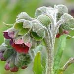 Random image: Наумка – Cynoglossum officinalis L.-съцветие