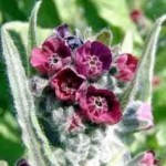 Random image: Наумка – Cynoglossum officinalis L.- цвят