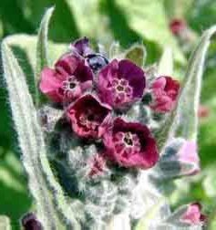 Наумка – Cynoglossum officinalis L.- цвят