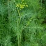 Билка - Копър - Anethum graveolens