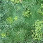 Копър - Anethum graveolens - билка