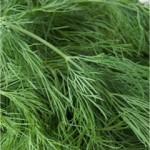 Копър - Anethum graveolens - лист