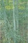 Копър - Anethum graveolens - стебло