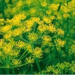 Копър - Anethum graveolens - цвят