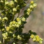 Random image: Морски пелин - Artemisia maritima - билка