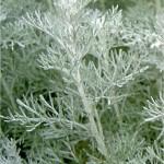 Морски пелин - Artemisia maritima - стебло