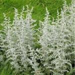 Random image: Морски пелин - Artemisia maritima