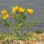Random image: Билка-Жълт рогатец - Glaucium flavum L.