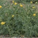 Жълт рогатец Glaucium flavum L.-билка