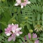 Зайчина пъстра - Coronilla varia L..-цвят