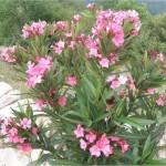 Билка-Олеандър - Nerium oleander L.