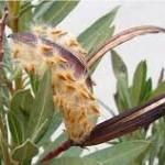 Олеандър - Nerium oleander-плод