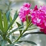 Random image: Олеандър - Nerium oleander L.-билка